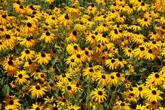 Floraciones observadas negro de los susans Fotos de archivo libres de regalías