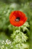 Floraciones rojas de la amapola foto de archivo