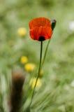 Floraciones rojas de la amapola fotografía de archivo libre de regalías