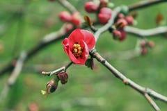 Floraciones rojas de la flor de la cereza en la rama foto de archivo