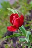 Floraciones rojas de la flor de la peonía en cierre de la primavera para arriba foto de archivo