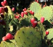 Floraciones rojas del cactus foto de archivo