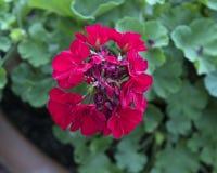 Floraciones rojas del geranio Imagenes de archivo