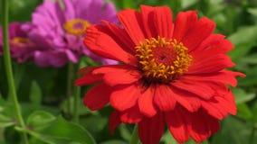 Floraciones rojas del jardín de flores en primavera Primer Floración hermosa del zinnia de las flores en el jardín Negocio de la
