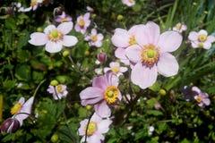 Floraciones rosadas Fotos de archivo libres de regalías
