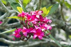 Floraciones rosadas de Fragipani Foto de archivo libre de regalías
