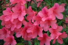 Floraciones rosadas de la azalea del melocotón Imágenes de archivo libres de regalías