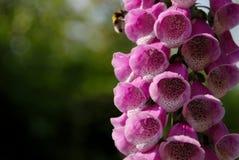 Floraciones rosadas de la dedalera que son polinizadas por una abeja del manosear Imagenes de archivo