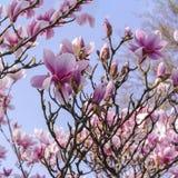 Floraciones rosadas de la magnolia en el fondo azul Foto de archivo libre de regalías