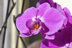 Floraciones rosadas de la orquídea Fotografía de archivo