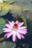 Floraciones rosadas del Nymphaea del lirio de agua Imagenes de archivo
