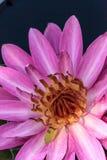 Floraciones rosadas del Nymphaea del lirio de agua Fotos de archivo libres de regalías