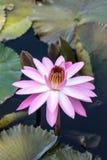 Floraciones rosadas del Nymphaea del lirio de agua Fotografía de archivo