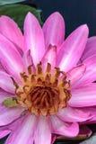 Floraciones rosadas del Nymphaea del lirio de agua Foto de archivo