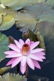 Floraciones rosadas del Nymphaea del lirio de agua Imagen de archivo