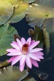 Floraciones rosadas del Nymphaea del lirio de agua Imagen de archivo libre de regalías