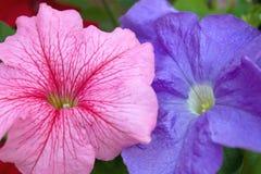 Floraciones rosadas y azules de la petunia Imagenes de archivo