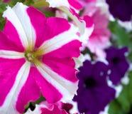 Floraciones rosadas y azules de la petunia Foto de archivo libre de regalías