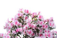 Floraciones rosadas y blancas de la azalea Imagenes de archivo