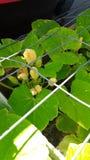 Floraciones tempranas de la calabaza en mi jardín foto de archivo