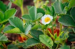 Floraciones verdes del arbusto de fresa Imágenes de archivo libres de regalías