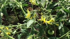 Floraciones y flores del tomate en una planta de tomate verde que crece en un invernadero almacen de metraje de vídeo
