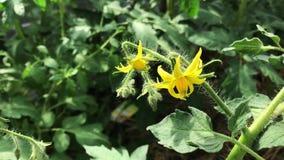 Floraciones y flores del tomate en una planta de tomate verde que crece en un invernadero metrajes