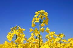 Floraison. Image libre de droits