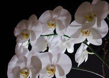 Floraison admirablement branche de la fleur blanche d'orchidée de phalaenopsis avec le centre jaune d'isolement sur un fond noir images stock