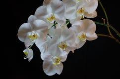 Floraison admirablement branche de la fleur blanche d'orchidée de phalaenopsis avec le centre jaune d'isolement sur un fond noir photographie stock