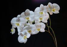 Floraison admirablement branche de la fleur blanche d'orchidée de phalaenopsis avec le centre jaune d'isolement sur un fond noir image stock