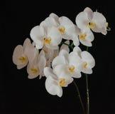 Floraison admirablement branche de la fleur blanche d'orchidée de phalaenopsis avec le centre jaune d'isolement sur un fond noir photographie stock libre de droits