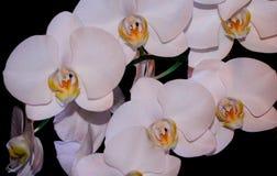 Floraison admirablement branche de la fleur blanche d'orchidée de phalaenopsis avec le centre jaune d'isolement sur un macro noir image stock