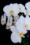 Floraison admirablement branche de la fleur blanche d'orchidée de phalaenopsis avec le centre jaune d'isolement sur un macro noir photographie stock libre de droits