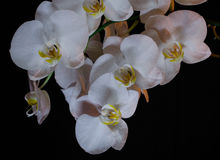 Floraison admirablement branche de la fleur blanche d'orchidée de phalaenopsis avec le centre jaune d'isolement sur un macro noir photographie stock