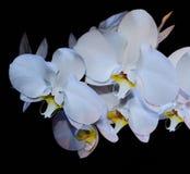 Floraison admirablement branche de la fleur blanche d'orchidée de phalaenopsis avec le centre jaune d'isolement sur un macro noir photos stock
