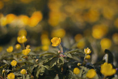 Floraison au printemps des fleurs de forêt Photographie stock libre de droits