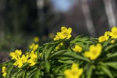 Floraison au printemps des fleurs de forêt Photographie stock