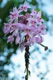 Floraison au sol chinoise d'orchidée Image stock