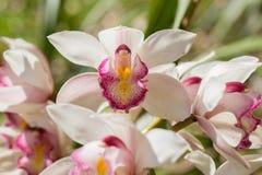 Floraison au sol chinoise et feuille d'orchidée Image libre de droits