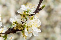 Floraison blanche de fleurs de prune de ressort saisonnier Fleur de verger de prune en Pologne photographie stock