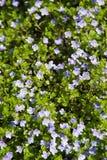 floraison bleue de repens de Veronica de fleur image stock