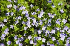 floraison bleue de repens de Veronica de fleur photo stock