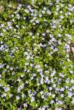 floraison bleue de repens de Veronica de fleur Images stock
