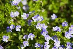 floraison bleue de repens de Veronica de fleur Photos libres de droits