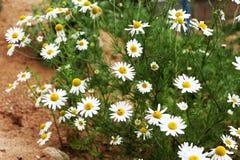 Floraison Camomille Le champ de floraison de camomille, camomille fleurit sur un pré en été, foyer sélectif Images libres de droits