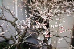 Floraison chinoise de fleurs de prune Photo stock