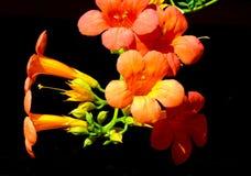 Floraison chinoise de plante grimpante de trompette photographie stock libre de droits