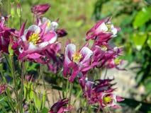 Floraison colombine de rose et blanche dans le jardin d'été Photo stock