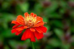 floraison colorée de fleurs de zinnia images libres de droits